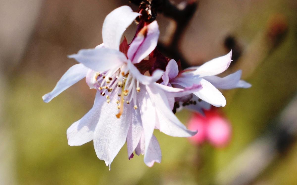 十月桜(京都府立植物園) 2019年2月18日 撮影:MKタクシー