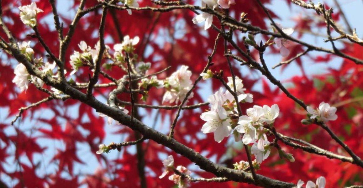 四季桜(赤山禅院) 2019年11月21日 撮影:MKタクシー