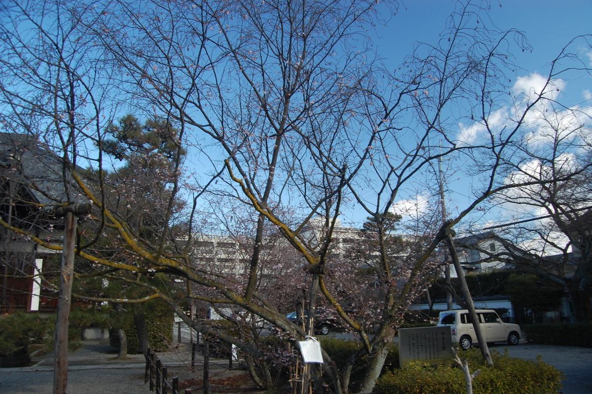 妙蓮寺の御会式桜 2009年1月24日 撮影:MKタクシー
