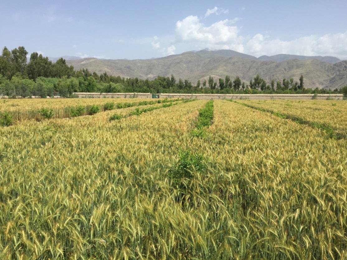 ガンベリ農場の麦畑(2019年4月。撮影:谷津賢二)