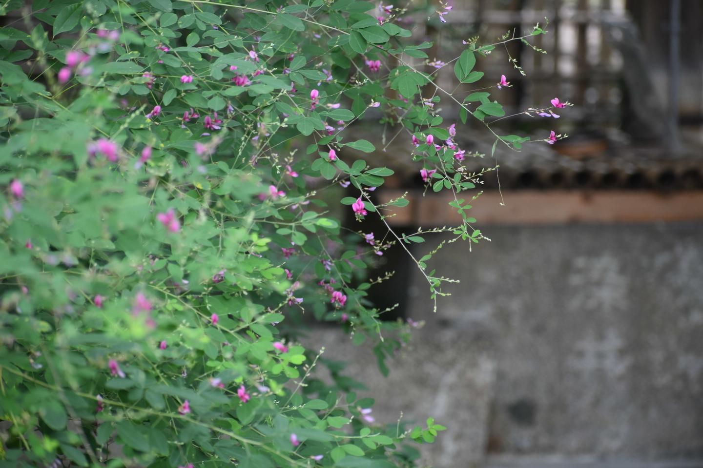 梨木神社の萩と染井 五分咲き 2021年9月15日 撮影:MKタクシー