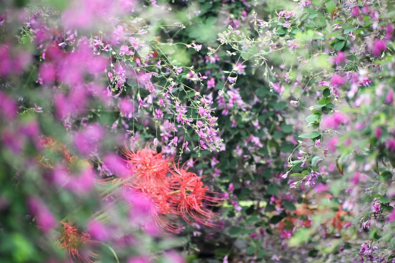 勝念寺の萩と彼岸花 見頃 2021年9月15日 撮影:MKタクシー
