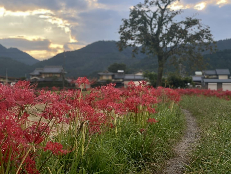 曽我部町西条(亀岡)の彼岸花 見頃 2021年9月20日 撮影:MKタクシー