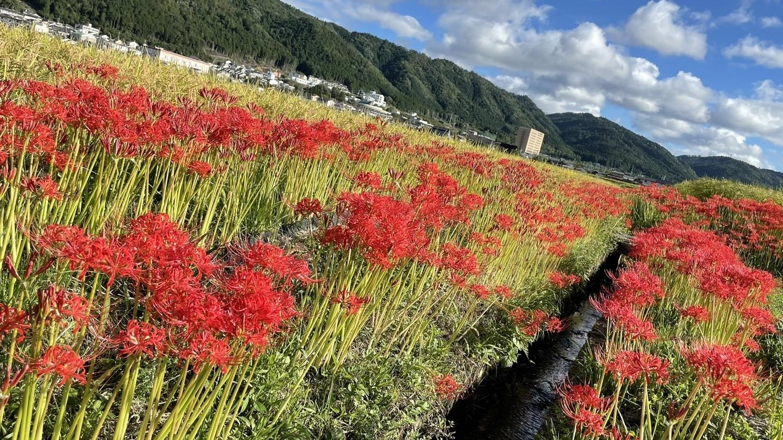 曽我部町(亀岡)の彼岸花 見頃 2021年9月18日 撮影:MKタクシー