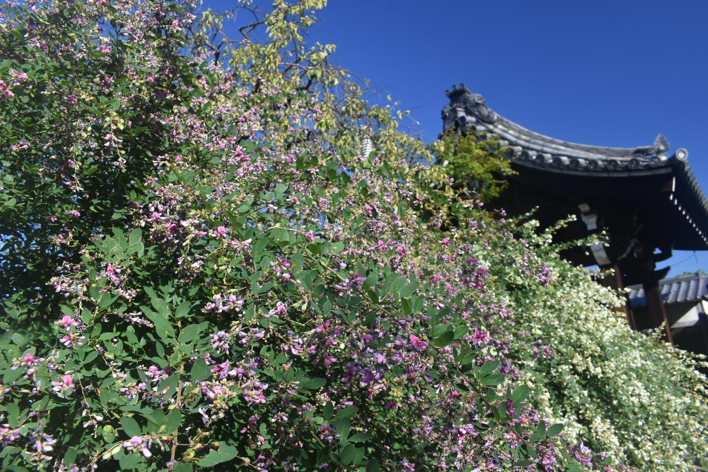 法住寺の萩 見頃 2021年9月21日 撮影:MKタクシー
