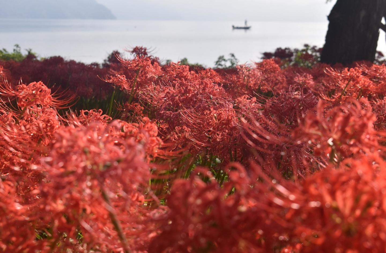 桂浜園地(高島)の彼岸花と海津大崎 見頃 2021年9月23日 撮影:MKタクシー