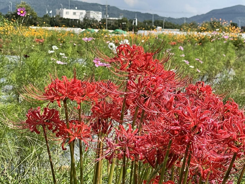 亀岡夢コスモス園の彼岸花 散りはじめ 2021年9月25日 撮影:MKタクシー