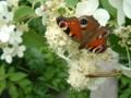 [flower][pollinator][august]ノリウツギ・クジャクチョウ