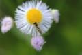 [flower][pollinator][may]ハルジオン