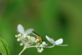 [flower][pollinator][august]ノリウツギ