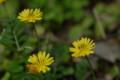 [flower][april]オオジシバリ