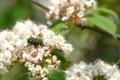 [flower][pollinator][april]コバノガマズミ・コアオハナムグリ