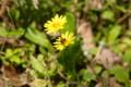 [flower][pollinator][may]オオジシバリ