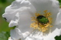 [flower][may][pollinator]ハマナス白・コアオハナムグリ