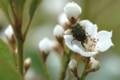 [flower][pollinator][may]シャリンバイ・コアオハナムグリ