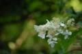 [flower][july]ノリウツギ