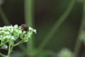 [flower][pollinator][september]オトコエシ・コアオハナムグリ