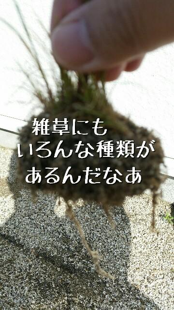 根に土が多くついている小さな雑草の写真
