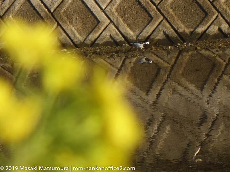 菜の花と鳥