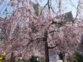 2018/03/26 カトリック幟町教会 しだれ桜満開
