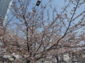 2018/03/26 猿猴川河畔 桜二分咲き