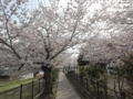 2018/03/29 二河公園 桜満開