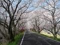 2019/04/08 久世 トンネル桜