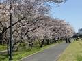 2020/04/02 太田川桜