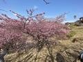2021/02/23 蒲刈県民の浜 河津桜