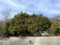 2021/02/23 蒲刈島 柑橘類の木