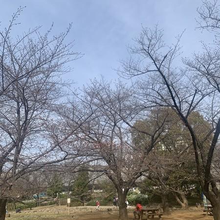 ピンク色に染まる桜の木