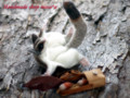[有袋類][袋モモンガ][フクロモモンガ][可愛いペット][羊毛フェルト][ハンドメイド][雑貨]