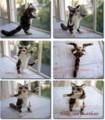 [20100925][子猫][猫のぬいぐるみ][アメリカン・ショート][アメリカンショートヘ][American Shorthair]