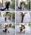 [20101008][子猫][猫のぬいぐるみ][アメリカンショートヘ][プレゼント][American Shorthair]