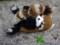 [レッサーパンダ][ペット][子供][ぬいぐるみ][可愛い画像][雑貨][羊毛フェルト][ハンドメイド][20110531]