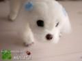 [犬ぬいぐるみ][オーダーぬいぐるみ][マルチーズ][Maltese][мальтийский][maltais]