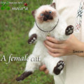 [ヒマラヤン][羊毛フェルト][ハンドメイド][仔猫][猫][ネコ][子猫]