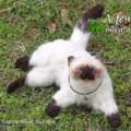 [Cat][chat][猫][кошка][ネコ][子猫][ヒマラヤン][猫][ペット][依頼]