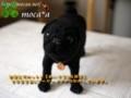 [犬ぬいぐるみ][オーダーぬいぐるみ][パグ][クロパグ][黒パグ][パグぬいぐるみ][写真を基に]