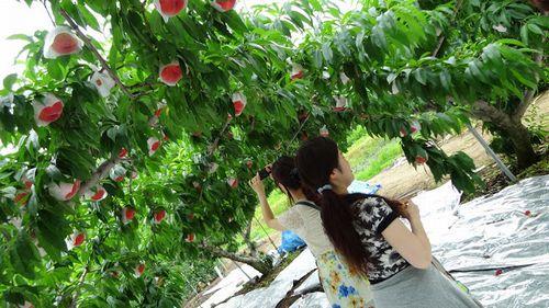 友達用メモ。桃狩り食べ放題2018年版!笛吹市御坂町の農園農場直売所オススメする5つのポイント