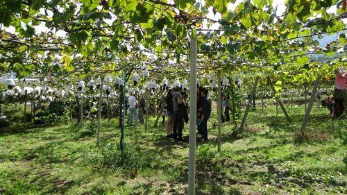 勝沼インター周辺オススメ評判の良いぶどう狩り農園大々園口コミ品種が多い珍しい品種の葡萄無農薬減農薬