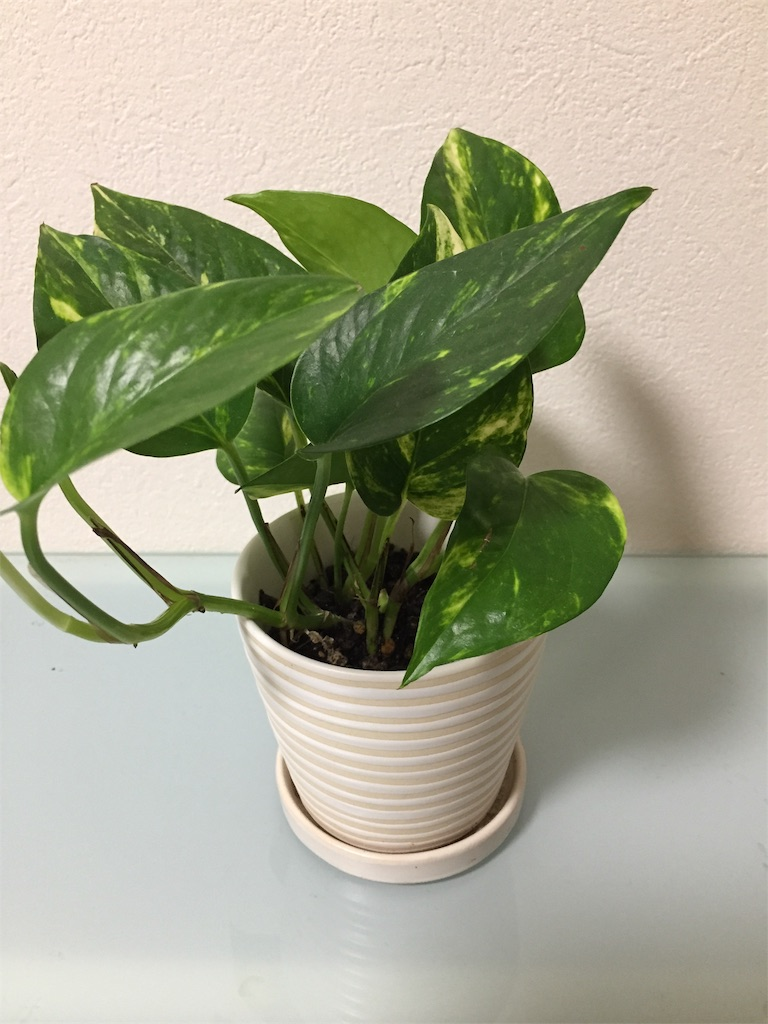 ポトスの鉢植えの写真