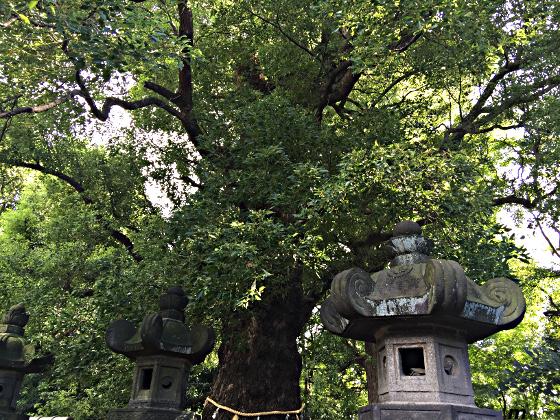 上野東照宮 御神木