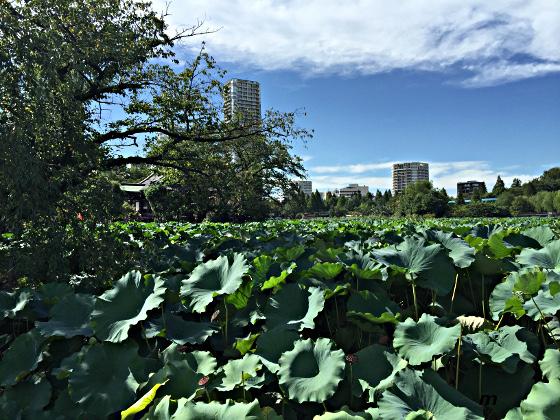 上野 不忍の池蓮の葉