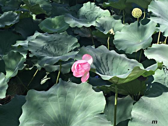 上野不忍の池 蓮の花
