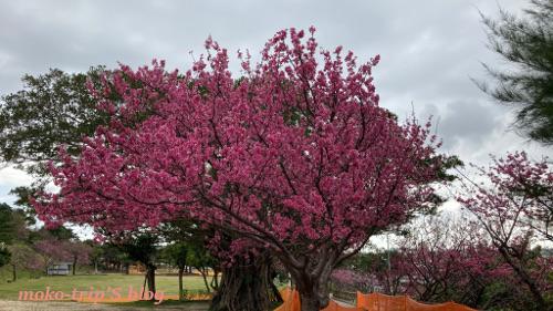 嘉数高台公園の桜