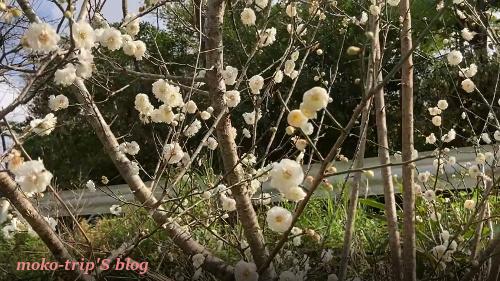 八重岳の梅