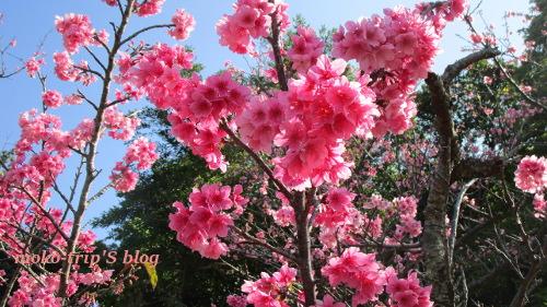 伊祖公園の桜