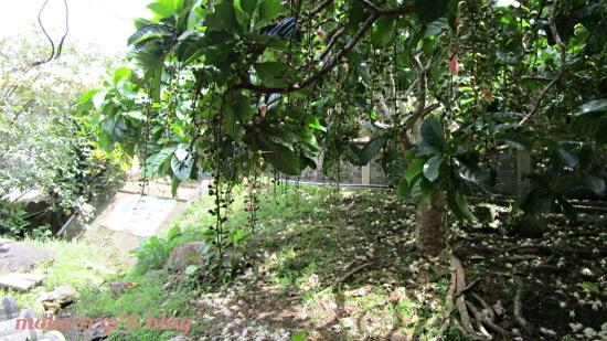 Barringtonia Racemosaサガリバナ