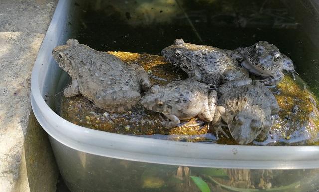 タッパーで作ったプールに集まるヌマガエル